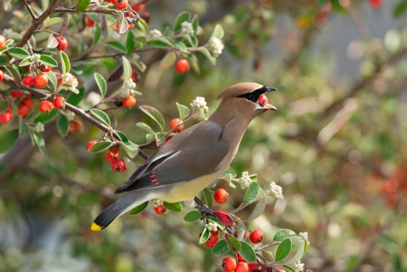 Cedar waxwing 2-2013 email size