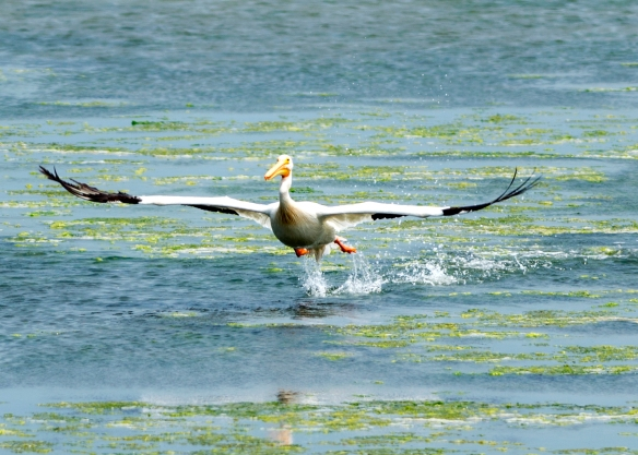 Flying white pelican Bodega Bay-June 2013