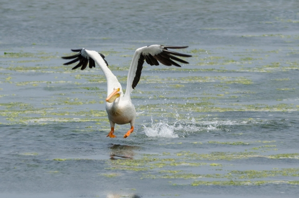 White pelican taking flight Bodega Bay-June 2013
