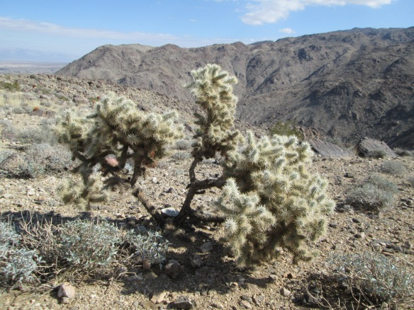 Cholla Joshua Tree 2-2014