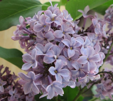 Lilac bouquet 4-2014