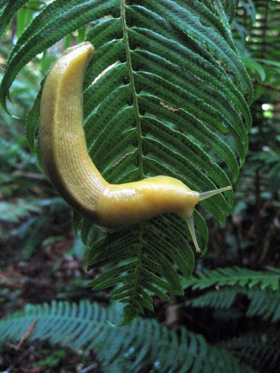 Banana slug Prairie Creek 9-2013