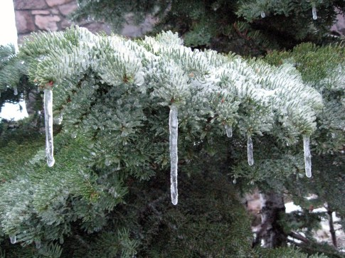 Icicles on red fir Crater Lake 10-1-14