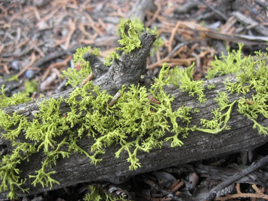 Lichen-Oregon Badlands 1 9-2013