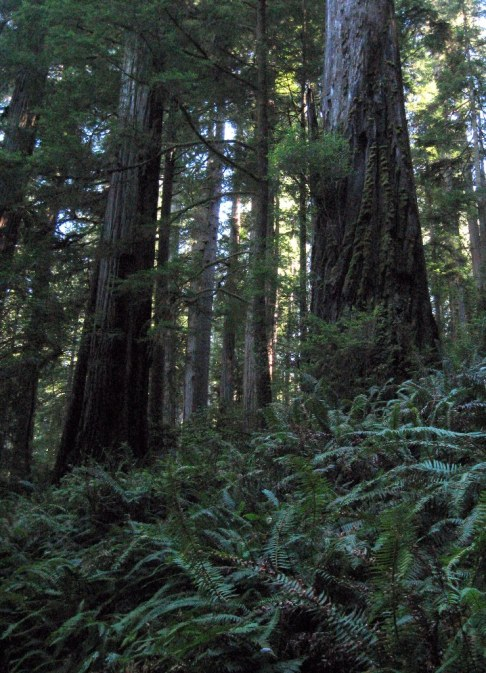 Redwoods and ferns looking up