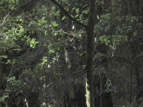 Northern spotted owl 5-2014
