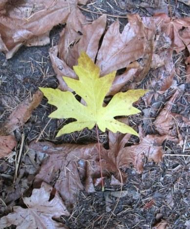 Big leaf maple leaf 9-2014
