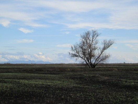 Sacramento National Wildlife Refuge sprouting 12-2014