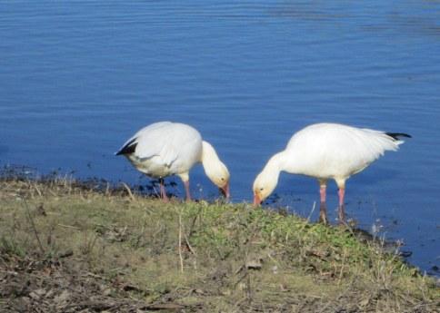 Snow geese feeding at Colusa 1-2015