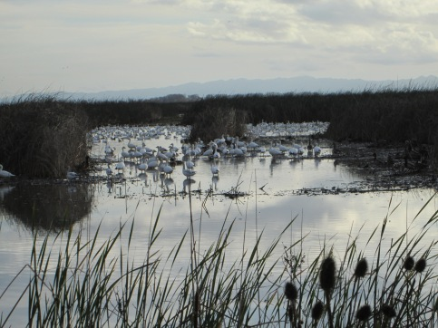 Snow geese in Sac 12-2014
