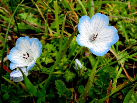 Baby blue eyes at Mt Tamalpais 3-2009