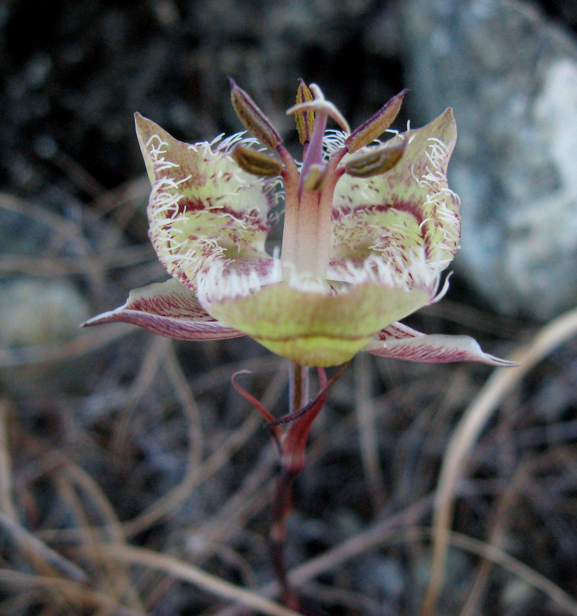 Following flower season woodswoman writes tiburon mariposa lily 2 izmirmasajfo