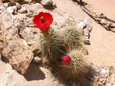 Claret cup cactus in Capitol Reef