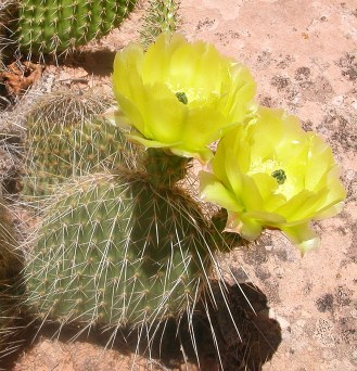 Common prickly pear near Moab cropped