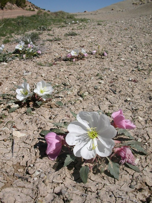 Dwarf evening primrose blooming after Capitol Reef storm