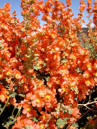 Globemallow explosion after desert rain in southern Utah