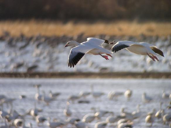 Snow geese photo by Len Blumin