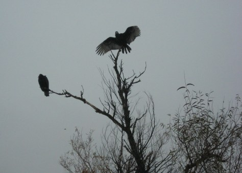 Turkey vulture drying wings in Sac Refuge 12-2015