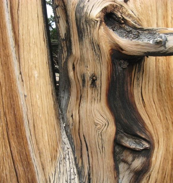 Bristlecone fire-scarred bark White Mountains 9-2015