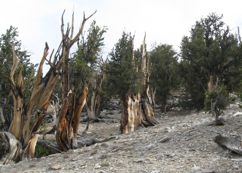 Bristlecone grove on Methusaleh Trail White Mountains 9-2015