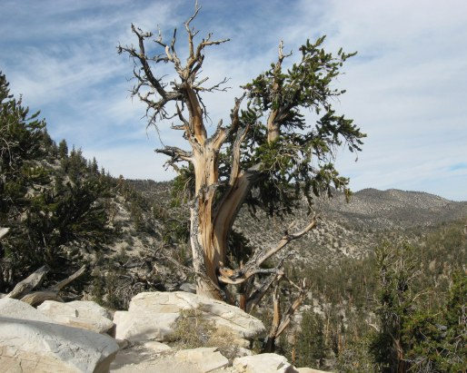 Bristlecone pine portrait White Mountains 9-2015