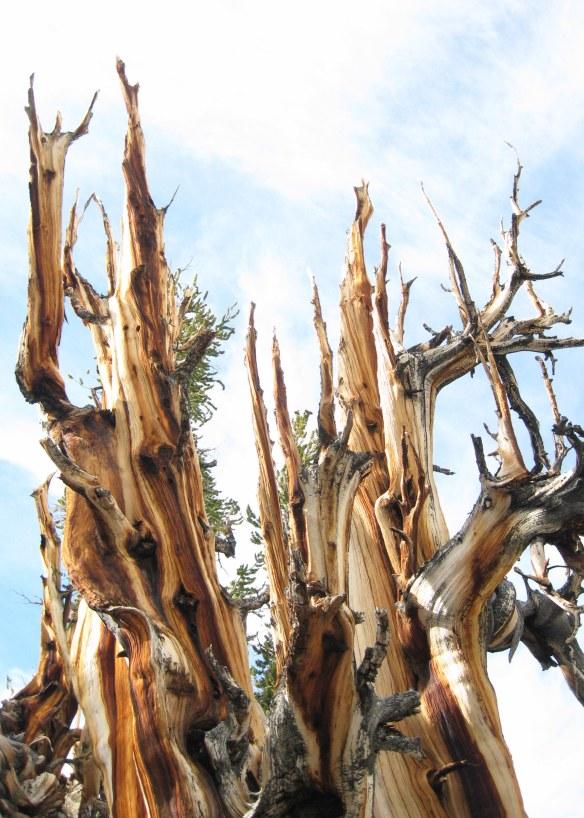 Bristlecone pines siilhouette White Mountains 9-2015