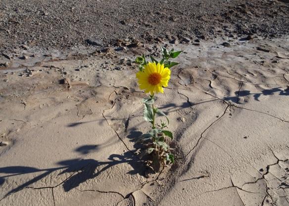 Desert gold flower in muddy wash Death Valley 2-2016 smaller