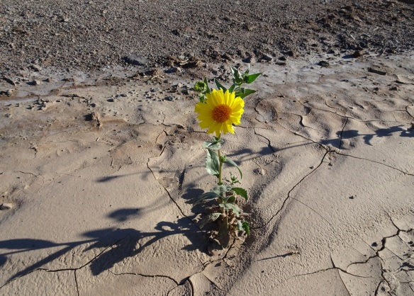 Desert gold flower in muddy wash Death Valley 2-2016 smaller
