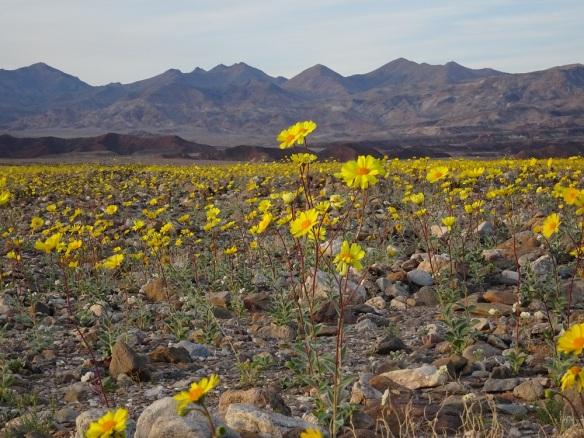 Desert gold landscape 1 Death Valley 2-2016 smaller