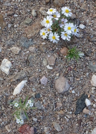 Desert-star and scented cryptantha Death Valley 2-2016 smaller