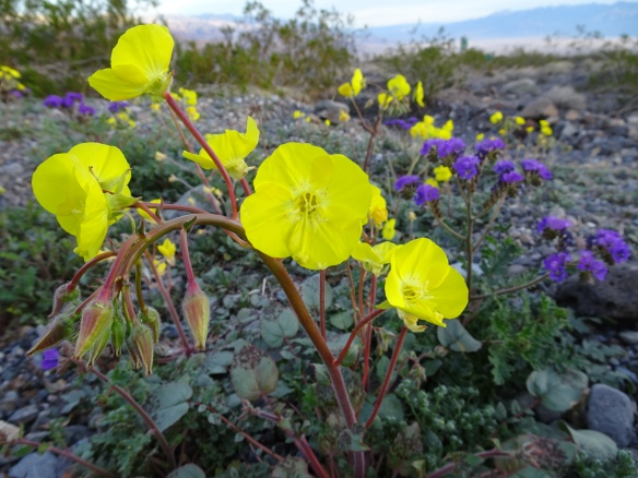 Golden evening primrose 2-2016