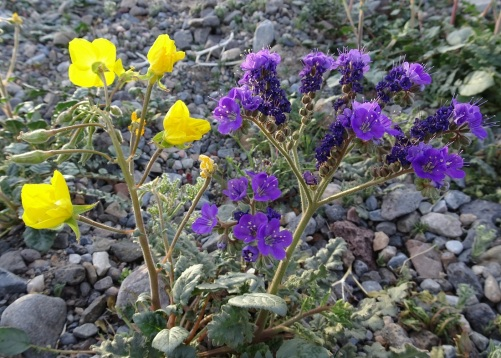 Golden evening primrose and notch-leaf phacelia Death Valley 2-2016 smaller