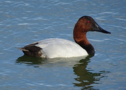Canvasback at Las Gallinas smaller