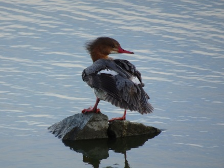 Common merganser female left at Las Gallinas