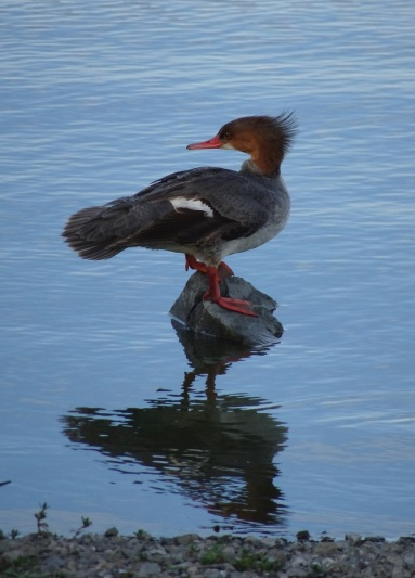 Common merganser female right at Las Gallinas smaller