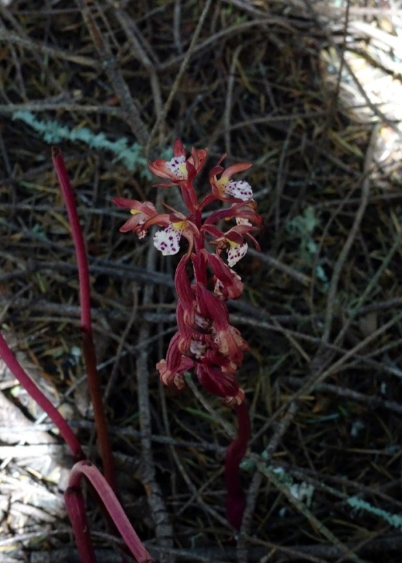 Coral root ACR 4-2016 smaller