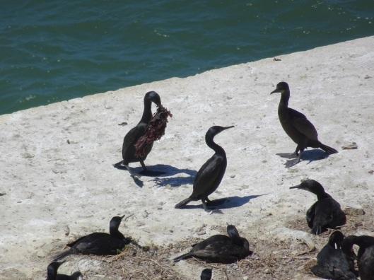 Brandts cormorants Alcatraz 6-2016 smaller