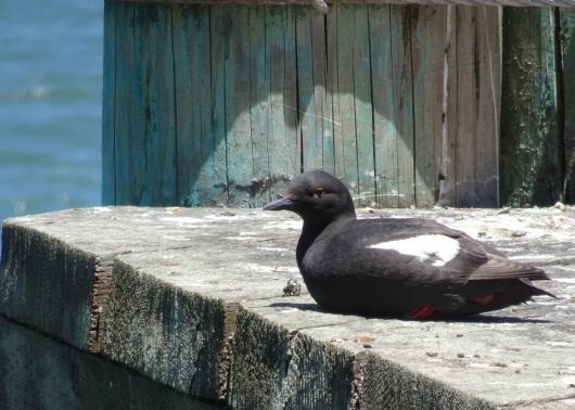 Pigeon guillemot Alcatraz 6-2016 smaller