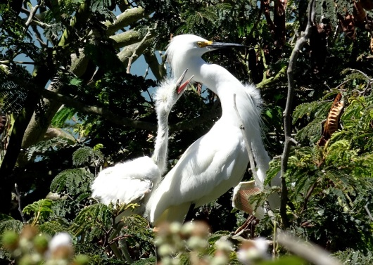 Snowy egret adult and chick Alcatraz 6-2016 smaller
