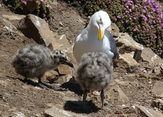 Western gull with chicks Alcatraz 6-2016 smaller
