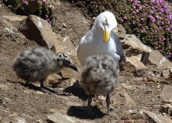 Western gull with chicks Alcatraz 6-2016 smaller