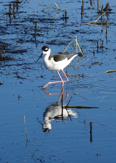 black-necked-stilt-san-luis-nwr-1-12-2016-small