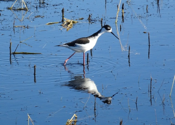 black-necked-stilt-san-luis-nwr-2-12-2016-small