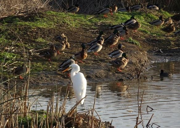 egret-and-mallards-12-2016-small