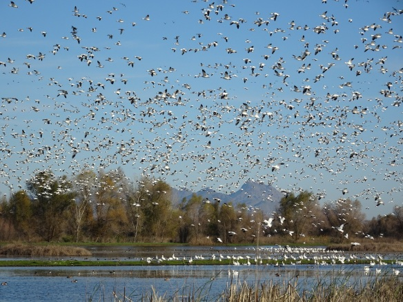 geese-flying-above-sutter-buttes-12-2016-small