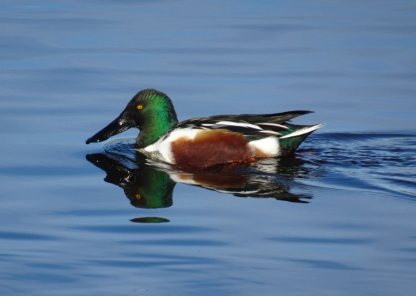 northern-shoveler-12-2016-small