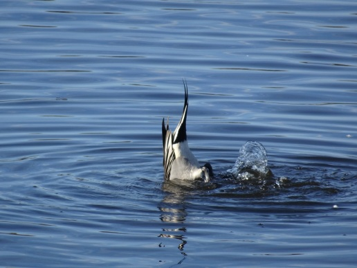 pintail-dabbling-12-2016-small