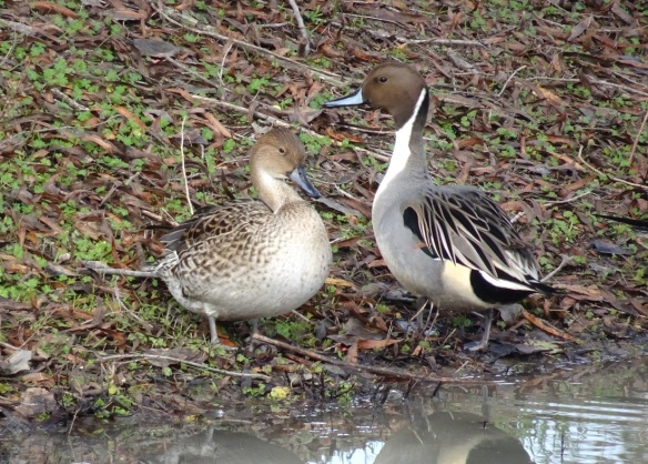 pintail-pair-on-shore-12-2016-small