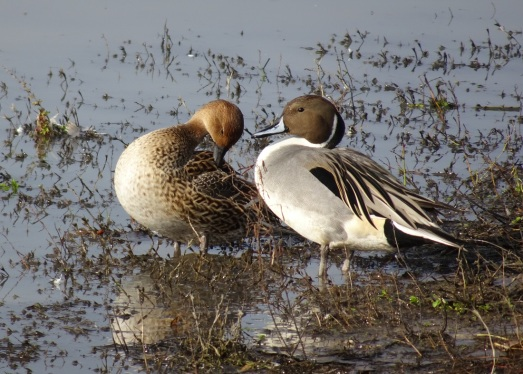 pintail-pair-preening-12-2016-small