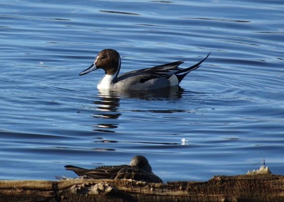 pintail-swimming-1-12-2016-small